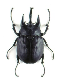 elephant beetle actual