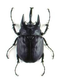elephant beetle actual